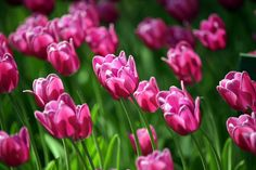 Tulips. | Flickr - Photo Sharing!