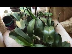 Orkidesi olan herkesin izlemesi gerek! Orkide bakımında dikkat edilmesi gereken noktalar. - YouTube Orchid Plants, All Plants, Liquid Fertilizer, Potting Soil, Better Homes And Gardens, Houseplants, House Warming, Things To Come, Home And Garden