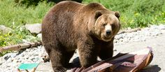 Bear Safety: Follow These Tips for Camping in Bear Country