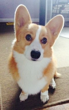 Stirke a pose. Cute Little Puppies, Cute Dogs And Puppies, Doggies, Corgi Funny, Corgi Dog, Cute Baby Animals, Animals And Pets, Pembroke Welsh Corgi, Dog Breeds