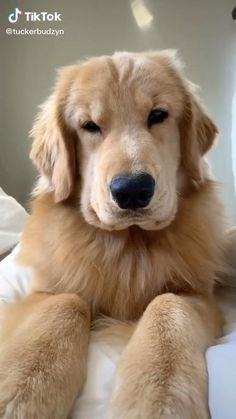 Cute Baby Dogs, Cute Funny Dogs, Cute Dogs And Puppies, Cute Funny Animals, Doggies, Cute Puppy Pics, Cutest Dogs, Perros Golden Retriever, Baby Golden Retrievers
