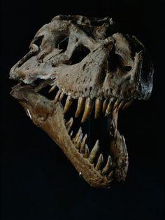 Skull of a Tyrannosaurus Rex Poster