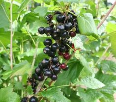 Blackcurrant bushes are very easy to grow and produce lots of delicious berries. They are usually grown as large multi-stemmed bushes, but can also be grown in containers. Blackcurrants are very good in summer puddings and pies, and make excellent jam. Some of the sweeter varieties can also be eaten straight off the plant.