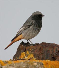 Black Redstart / Colirrojo Tizón (Phoenicurus ochruros)