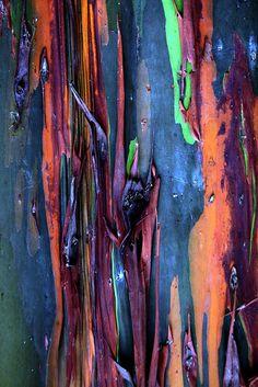 Rainbow Eucalyptus tree by artbyts, via Flickr