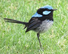 Superb Fairywren (Malurus cyaneus); a cocky little fellow, totally resplendent in his bright blue cap and two-tone blue waist coat; much different to the mostly grey-brown coloured females; males and females are sexually dimorphic (that is, they look profoundly different); https://www.facebook.com/photo.php?fbid=10152609480117308