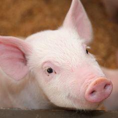 Świnie pod względem inteligencji są podobne do psów. Nie są jednak naszymi pupilami, lecz zapełniają przemysłowe zagrody, dzieląc los milionów innych zwierząt zabijanych na mięso.
