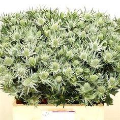 Eryngium (Thistle) sirius questar