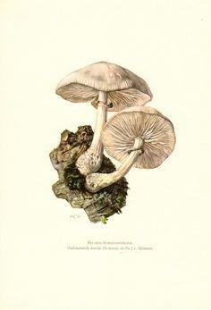 porcelain fungus mushroom, oudemansiella mucida, collybia mucida original vintage lithograph, 1961