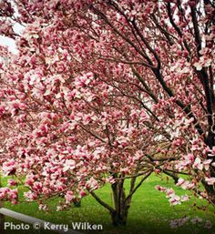 Saucer Magnolia, fast growing