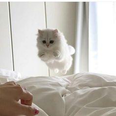 Картинки по запросу rasy kotów