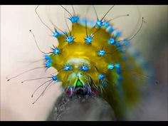 Saturnidi: i bruchi colorati che sfidano la bellezza delle farfalle