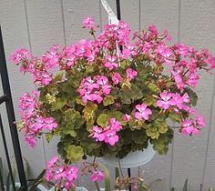 Overwintering Geraniums -  My MIL does this, but she would never tell me how.