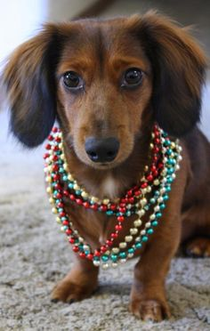 Dachshund all decked out for the holidays