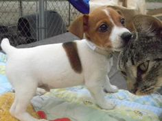 Rolo is an adoptable Jack Russell Terrier Dog in Zaleski, OH. Rolo is a 12 wk old 2 lb jack russel puppy. He was from an amish puppy mill and booted out because he has a double hernia. He was scheuled...