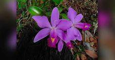 Resultado de imagen para flores parasitas