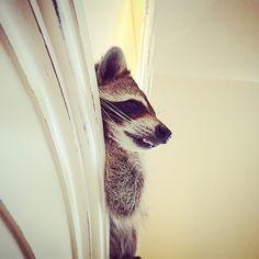 66fbf51fdadcdd Die 89 besten Bilder von Raccoons  ) in 2019