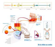 Les voies de la vision. Neuroanatomie. #neurology #ophthalmology