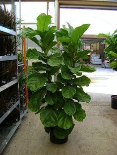 Figuier lyre (Ficus lyrata) : entretien, arrosage