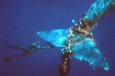 """People say """"Why support the Plastic Bag Ban?"""" Take a look at this photo and see what is happening to the life in the ocean. Ghost nets, plastic, chemicals, etc are showing how we use the ocean as a dumping ground. Plastic Bags have killed thousands of turtles by thinking they were jelly fish. This is why I support the BAN :) Image posted by Artist For The Ocean FB Page"""