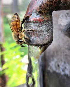 Bee Drinking Water. Glad you could join us in our garden, Mr. or Mrs. Bee.