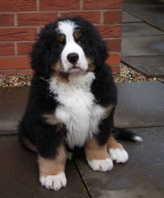 Chubby Bernese Mountain Dog Puppy