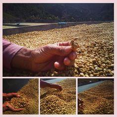 #honey #specialtycoffee #thrivefarmers #farmerdirect #knowwhogrows