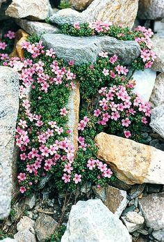 ANDROSACE ALPINA (Androsace dei ghiacciai. Alpen-Mannsschild. Androsace des Alpes. Alpski oklep).Primulaceae