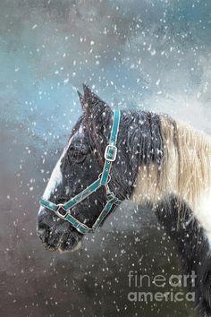 Gypsy Horse, Snowflakes, Horses, Animals, Animales, Snow Flakes, Animaux, Animal, Animais