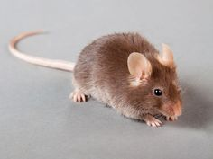 When mice with human tumors received doses of anti-CD47, which sets the immune system against tumor cells, the cancers shrank and disappeared.