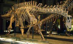 Squelette monté du dinosaure Saurischia Sauropodomorpha Dicraeosauridae Dicraeosaurinae Dicraeosaurus, Museum für Naturkunde, Berlin. Auteur : FunkMonk. 2009