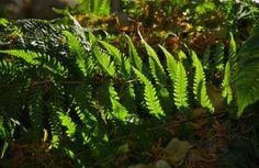 Dance of the fern fronds; Morris Arboretum; Philadelphia, Pennsylvania, USA.  November 2013.