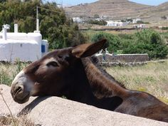 Mr. Donkey is having a great day in Mykonos :)