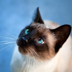 Siamese Cat With Blue Eyes wallpaper Cute Kittens, Cats And Kittens, Animals And Pets, Cute Animals, Eyes Wallpaper, Cat With Blue Eyes, Here Kitty Kitty, Kitty Cats, Siamese Cats