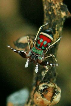Jumping Spider (Siler semiglaucus) by itchydogimages, Nice sweater. Cool Insects, Bugs And Insects, Beautiful Creatures, Animals Beautiful, Cute Animals, Spiders And Snakes, Cool Bugs, Itsy Bitsy Spider, Jumping Spider