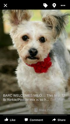 Milo is an adoptable Yorkshire Terrier Yorkie searching for a forever family near Jacksonville, FL. Use Petfinder to find adoptable pets in your area.