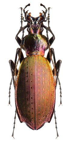 Apotomopterus aeneocupreus
