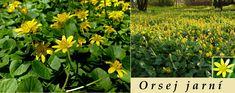 Orsej jarní (latinsky ranunculus ficaria = ficaria verna) patří do čeledi pryskyřníkovité. Je vysoká jen asi 5-15 cm. Kvete v březnu a dubnu. Je to vytrvalá bylina, má kořenové hlízy. Stonek je poléhavý nebo vystoupavý. Listy mírně dužnaté, lysé, okrouhle srdčité, řapíkaté, tmavozelené, lesklé. Květy o průměru 2-3 cm, s 3-5 zelenými kališními lístky a 8-12 máslově žlutými lesklými okvětními lístky. U poddruhu(ssp. bulbifera) se po odkvětu tvoří v úžlabí...
