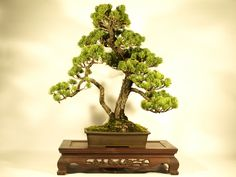 """""""So-kan"""" is words to express the form of the Bonsai. """"So-kan"""" is form expressing that a tree is divided into two."""