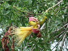 Adansonia rubrostipa – Wikipedia