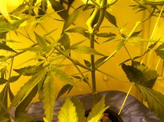 ... see more thc gimp how to grow hydro weed indoors another grow journal