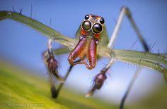 Lyssomanes sp. Male Jumping Spider - Belize
