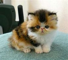 Calico exotic shorthair...okayy, so I don't like cats but this one just stole my heart <3 :-D