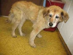 A923982 - KERN SHELTER URGENT is an adoptable Golden Retriever Dog in Bakersfield, CA. PLEASE SAVE ME. I AM CURRENTLY AT THE KERN COUNTY BAKERSFIELD ANIMAL SHELTER. To obtain further information, have...