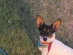 Jack Russell Terrier and Rat Terrier mixed Dog for Adoption in Lubbock, Texas - Theodore in Lubbock, Texas Wheaten Terrier Mix, Chihuahua Terrier Mix, Wirehaired Fox Terrier, Terrier Rescue, Rat Terrier Mix, Rat Terriers, Chihuahua Dogs, Pitbull Terrier, Pet Dogs