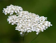 Yarrow is a wound herb, astringent and healing, and rich in vitamins and minerals. Bruised, fresh leaves bound to cuts help speed up healing. It is anti-spasmodic, anti-imflammatory, anti-flatulent and a tonic. It is also effective in lowering blood pressure, relaxing spasms, and arresting haemorrhage. A tea restores lost appetite and promotes perspiration during colds and fevers.