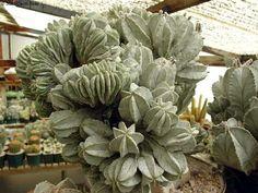 Astrophytum myriostigma f.crestata