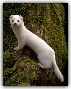 LEAST WEASEL (Mustela nivalis). The least weasel is small enough to be preyed upon by a range of other predators. Least weasel remains have been found in the excrement of red foxes, sables, steppe and forest polecat, stoats, eagle owls and hawks