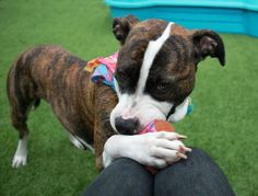 # RETURNED #  DUTCHESS  aka ELAINE – A1114542 (ALT ID – A1116564)    **RETURNED 07/07/17**    SPAYED FEMALE, BR BRINDLE / WHITE, AM PIT BULL TER MIX, 1 yr, 2 mos  RETURN – ON HOLD HERE, HOLD FOR ID Reason TOO HYPER  Intake condition EXAM REQ Intake Date 07/07/2017, From NY 11368, DueOut Date 07/07/2017