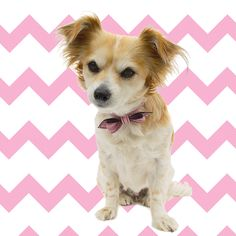 Sweet Sophie wears a Poodle Pink LuxeMutt Martini Bowtie collar.